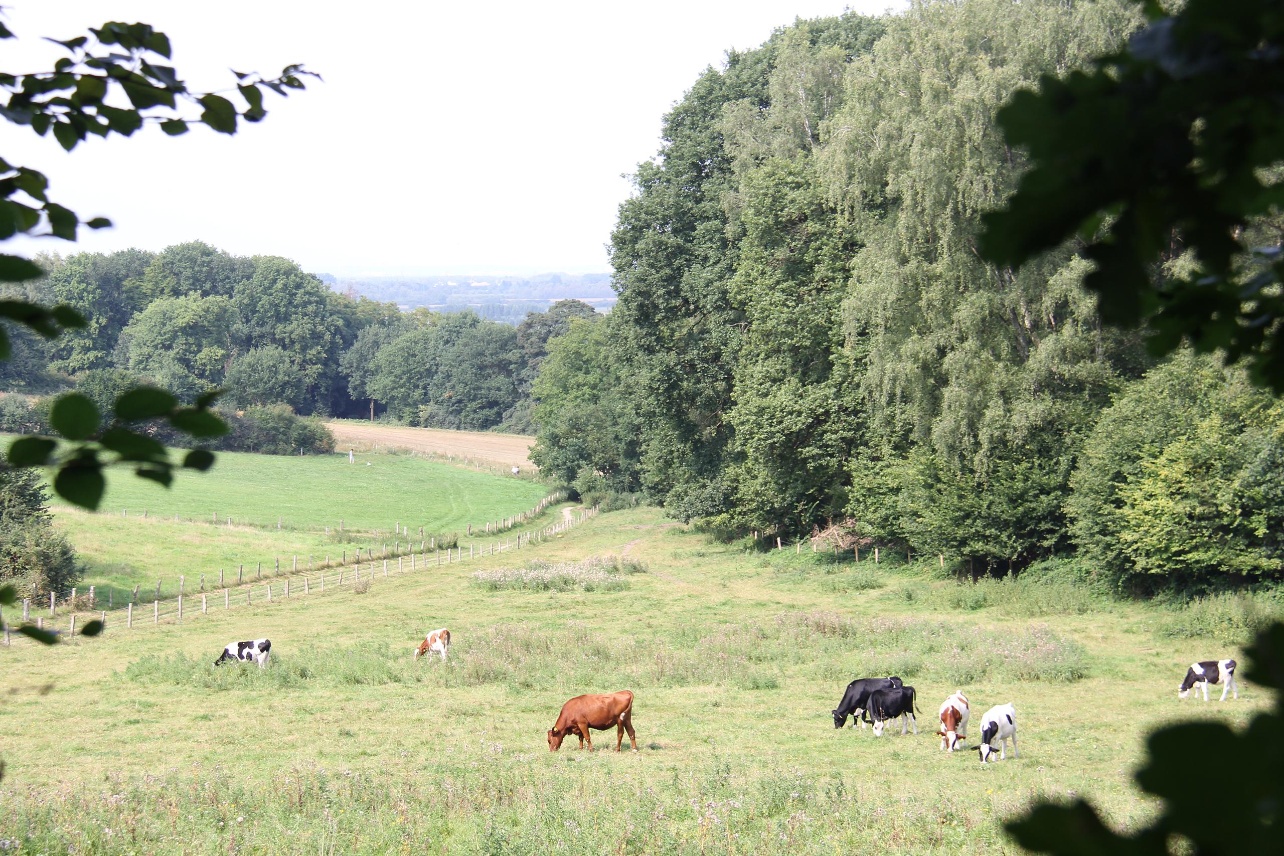 Koeien in de wei naar dal
